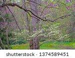 Redbud And Dogwood Trees Bloom...