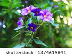 Purple Nightshade  Solanum...