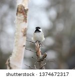closeup of a black capped... | Shutterstock . vector #1374672317