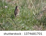 a meadow pipit in the garden | Shutterstock . vector #1374681701