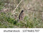 a meadow pipit in the garden | Shutterstock . vector #1374681707