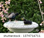 starlings and blackbirds in... | Shutterstock . vector #1374716711
