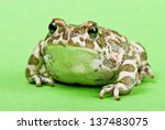 Bufo Viridis. Green Toad On...