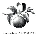 antique botanical engraving... | Shutterstock .eps vector #1374992894