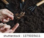 tobacco seeds on the finger.... | Shutterstock . vector #1375035611