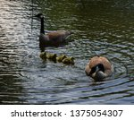 Family Of Geese Swimming In Lake