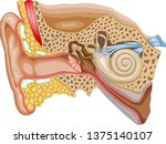 vector medical illustration of... | Shutterstock .eps vector #1375140107