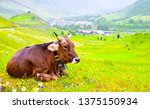 Stock photo cow on pasture meadow flowers landscape cow lying on grass cow lying down brown cow lying rest 1375150934
