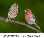A Male And Female House Finch...