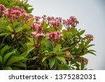 plumeria on plumeria leaves... | Shutterstock . vector #1375282031