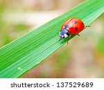 the ladybug on a green leaf of... | Shutterstock . vector #137529689