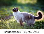 Stock photo the beautiful brown cat siamese with blue green eyes lies in a green grass and leaves 137532911
