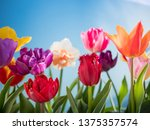 colorful tulips flowers spring... | Shutterstock . vector #1375357574