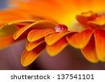 Macro Of Drops On Orange Flower ...