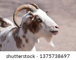 Male Goat Portrait