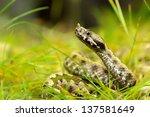 Horned Viper In Natural Habita...