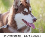 Portrait of young Siberian husky dog. Brown fur and bright blue eyes.Cute domestic breed,good for family and kids.Heavy breathing doggy with pink tongue sticking out