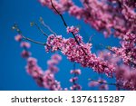 Redbud Tree Close Up For...
