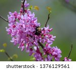 Bumble Bees Pollinating On...
