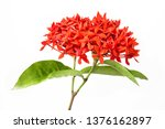 Ixora Coccinea Flower  Red...
