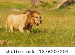 battered and worn old male lion ... | Shutterstock . vector #1376207204