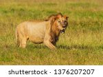 battered and worn old male lion ... | Shutterstock . vector #1376207207