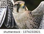 Peregrine Melin Falcon Bird of Prey