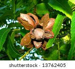 Pecan Nuts On The Tree