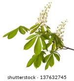 Chestnut Tree Flower   Isolated
