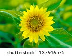 beautiful sunflower at the park ... | Shutterstock . vector #137646575