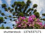 araucaria vegetation in the... | Shutterstock . vector #1376537171