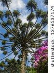 araucaria vegetation in the... | Shutterstock . vector #1376537174