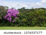 araucaria vegetation in the... | Shutterstock . vector #1376537177