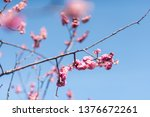 cherry blossoms on cherry... | Shutterstock . vector #1376672261