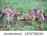 two black backed jackal puppies ... | Shutterstock . vector #1376738234