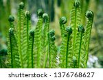 Photo Of Green Young Fern Leaf...