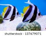 Couple Angel Fish In Aquarium ...