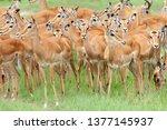 impala  aepyceros melampus  herd | Shutterstock . vector #1377145937