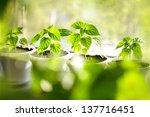 Habanero Peppers Plants Growin...
