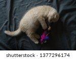 Stock photo playful little kitten kitten scottish fold cat red kitten with funny ears two month old kitten 1377296174