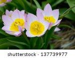 Flowering Plant Lilac Wonder