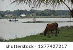 Cow Eating Grass Beside River