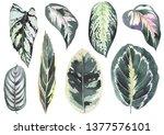 Tropical Calathea Leaves....