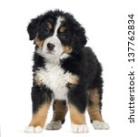 Stock photo bernese mountain dog puppy months old standing isolated on white 137762834