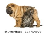 Shar Pei Puppy Standing Over A...
