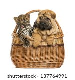 Sharpei Puppy And Spotted...