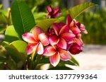 the most beautiful plumeria ... | Shutterstock . vector #1377799364