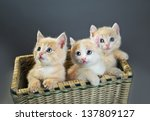 Three Red British Kittens In...
