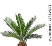 Young Palm Tree Cycas Revoluta...