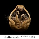 three banded armadillo isolated ... | Shutterstock . vector #137818139
